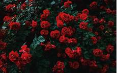 black garden 4k wallpaper wallpaper 3840x2400 roses bush bloom garden