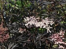 schwarzer holunder black lace 174 sambucus nigra black
