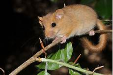 Was Essen Mäuse In Der Natur - die haselmaus ist tier des jahres 2017 nabu