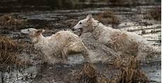 wasserspiele zu zweit borzoi animal totems fluffy dogs