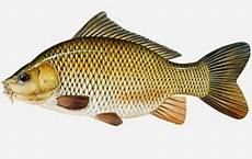 Terbaru Mengenal Jenis Ikan Konsumsi Yang Ada Di