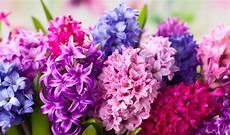 giacinto fiore giacinto come coltivarlo e prolungare la fioritura fai