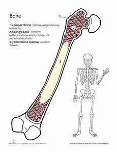 science worksheets bones 12126 390 best images about human anatomy on