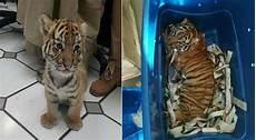 Gambar Anak Harimau Dibungkus Dalam Plastik Dan Hir