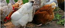 Aliment Complet Pour Poules Pondeuses En Hiver
