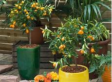 agrumes en pot comment r 233 ussir la culture de 10 agrumes au jardin ou en pot