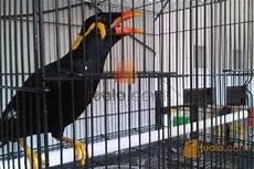 Burung Beo Medan Asli Jakarta Jualo