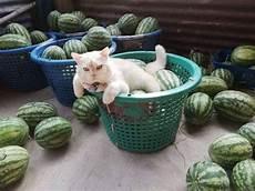 Pearl Kucing Berwajah Galak Yang Jadi Pengawas Kebun Semangka