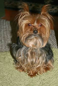 yorkie haircuts miniature yorkshire terrier yorkie haircuts