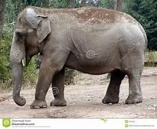 Malvorlage Indischer Elefant Indischer Elefant Stockfoto Bild Afrikanisch Gro 223