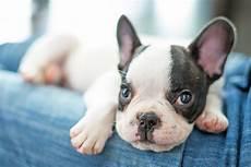 franz 246 sische bulldogge kaufen