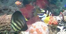 Ikan Hias Foto Gambar Ikan Badut