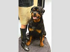 5 Things to Know About Rottweilers