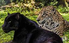 panther jaguar leopard 10 roaring facts about jaguars mental floss