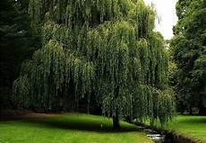 Shade Trees 6 Fast Growing Bob Vila
