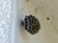 petit nid de guepe nid d abeilles ou de gu 234 pes val 233 rie co