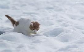 White Cat Walk On Snow HD Wallpaper