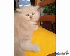 gatti persiani regalo immagini di gatti persiani yr53 pineglen