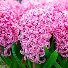 giacinto fiore fiori giacinto fiori di piante i fiori giacinto