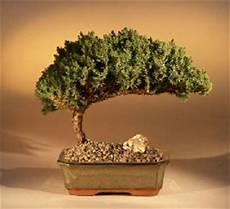 Bonsai Baum Kaufen - buy a bonsai in our store grow a bonsai