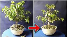 bonsai ficus benjamini ficus benjamina bonsai pruning wiring be the creator