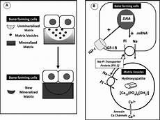 bone mineralization process involving the interaction of
