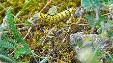 Insect Caterpillar Wallpaper by Yellow Caterpillar Wallpapers And Images Wallpapers