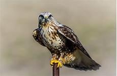 legged hawk birdwatching