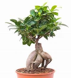 Bonsai Vijg Ficus Microcarpa Ginseng Max Vandaag