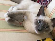 ragdoll mix what is the temperament of ragdoll siamese mix kittens