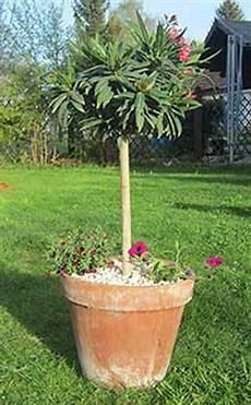 oleander pflege und schnitt oleanderstr 228 ucher schnitt pflege und 220 berwinterung