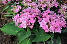 And Me Malvorlagen Romantis Hydrangea Macrophylla You Me 174 Lubera De