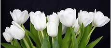 White Flowers Hd Images by White Tulips Pictures Free Stock Photos 7 559