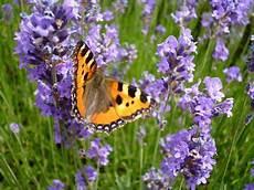 pflanzen für bienen und schmetterlinge lavenel eine nektarweide f 252 r bienen und schmetterlinge