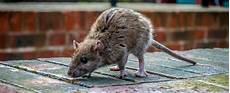 ratten fangen tipps ratten vertreiben neubefall verhindern hagebau de