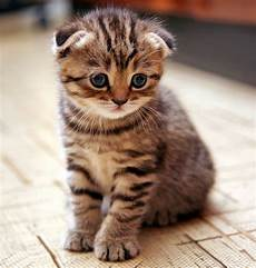 A Guide To The Scottish Fold Cat Veterinarians