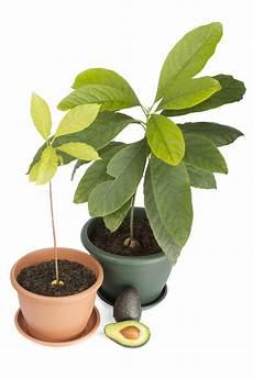Indoor Fruit Trees Indoor Avocado Tree Indoor Citrus