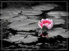 fiori di loto e farfalle la natura nel cassetto la purezza fiore di loto