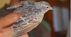 Cara Membedakan Burung Branjangan Jantan Dan Betina Tips
