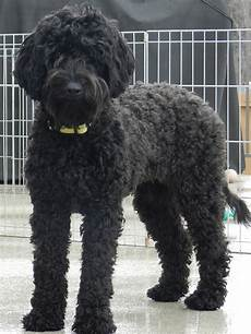 black labradoodle haircuts lulu medium puppy patch labradoodles