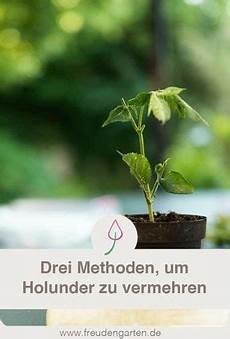 holunder vermehren holunder vermehren holunder pflanzen