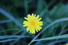 Gambar Alam Rumput Mekar Menanam Dandelion Daun