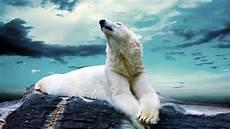 polar backgrounds polar bears wallpapers wallpaper cave