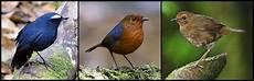 Perawatan Burung Cingcoang Biru Om Kicau