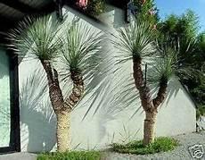 Palmen Für Den Garten - yucca rostrata sehr sch 246 ne winterharte palmen f 252 r den