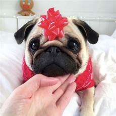 merry christmas everyone christmas baby pugs cute dogs pugs