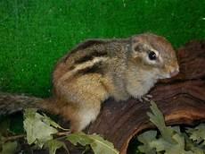 gabbia per scoiattolo giapponese animals cip e ciop allegri scoiattolini