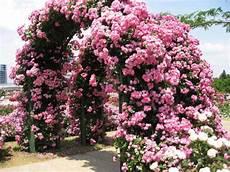 розы лучшие фотографии и картинки с розами