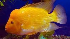 Contoh Gambar Mewarnai Ikan Louhan Kataucap