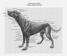 Dog Muscle Chart 1000 Images About Canine Study On Pinterest Real Dog
